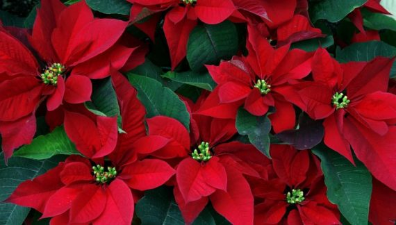Φυτά και λουλούδια με άρωμα Χριστουγέννων