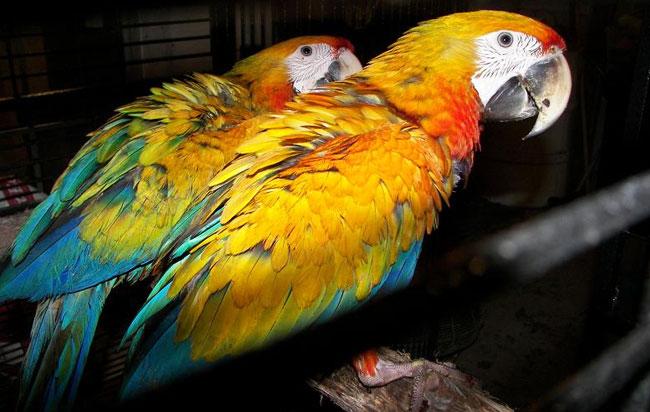 Οι παπαγαλίνες προτιμούν για συντρόφους τους… έξυπνους αρσενικούς