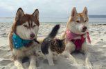 H ψιψίνα που βγαίνει βόλτα με σκύλους χάσκι
