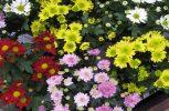 Επιστήμονες στην Κίνα δημιουργούν νέα χρώματα λουλουδιών