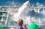 Δύτης εγκλώβίζεται σε κλουβί με καρχαρία (video)