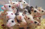 Γεννήθηκαν τα πρώτα υγιή ποντικάκια από σπέρμα που έμεινε εννέα μήνες στον Διεθνή Διαστημικό Σταθμό