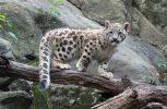 Κίνα: Αναζητούν σύντροφο για μία λεοπάρδαλη του χιονιού