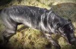 Ξανά στην ζωή το μεγαλύτερο είδος σκύλου