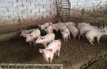 Κατά 90% κάλυψη των αναγκών σε χοίρειο κρέας από τις 65 μονάδες παγκύπρια