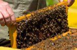 Γερμανία: Η μέλισσα έχει γίνει ένα από τα πιο δημοφιλή κατοικίδια