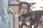 Αυτός ο σκύλος πωλήθηκε σε τιμή-ρεκόρ 17.000 δολαρίων (video)