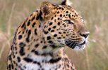 Κινδυνεύουν με εξαφάνιση οι λεοπαρδάλεις του Αμούρ