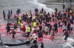 Κοκκίνισε η θάλασσα από το αίμα των φαλαινών