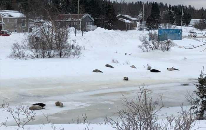 Καναδάς: Ένα χωριό ζητάει βοήθεια, καθώς είναι αντιμέτωπο με μια εισβολή… φωκιών